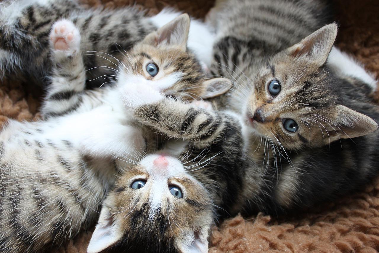 купить точечные фотографии трех котят маленьких городов различной