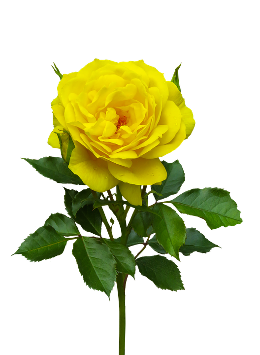 Nature, Flower, Rose, Plant, Flora, Yellow, Blossom