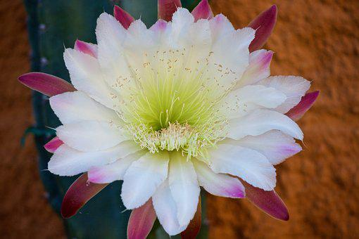 Cactus flower images pixabay download free pictures cactus cactus flower fat plants mightylinksfo