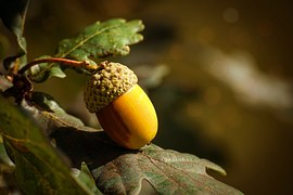 Acorn, Fruit, Autumn, Oak