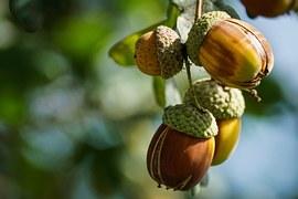 Acorns, Fruit, Oak, Autumn, Tree