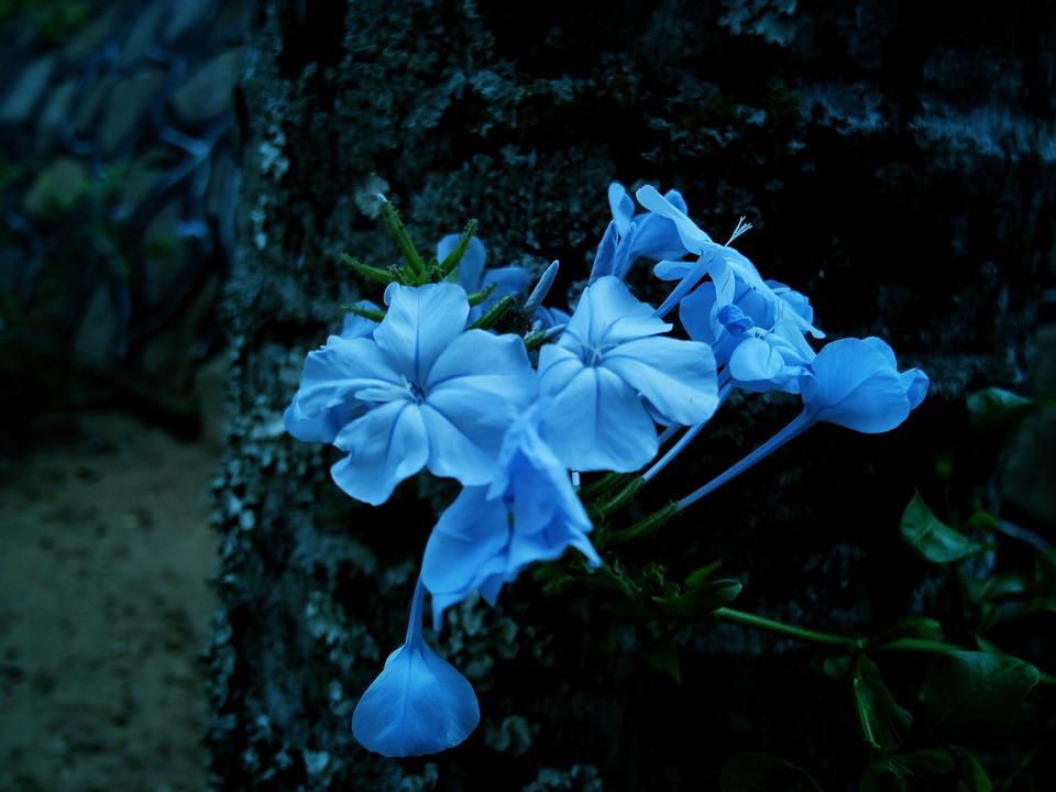 Fleur Romantique Bleue Photo Gratuite Sur Pixabay