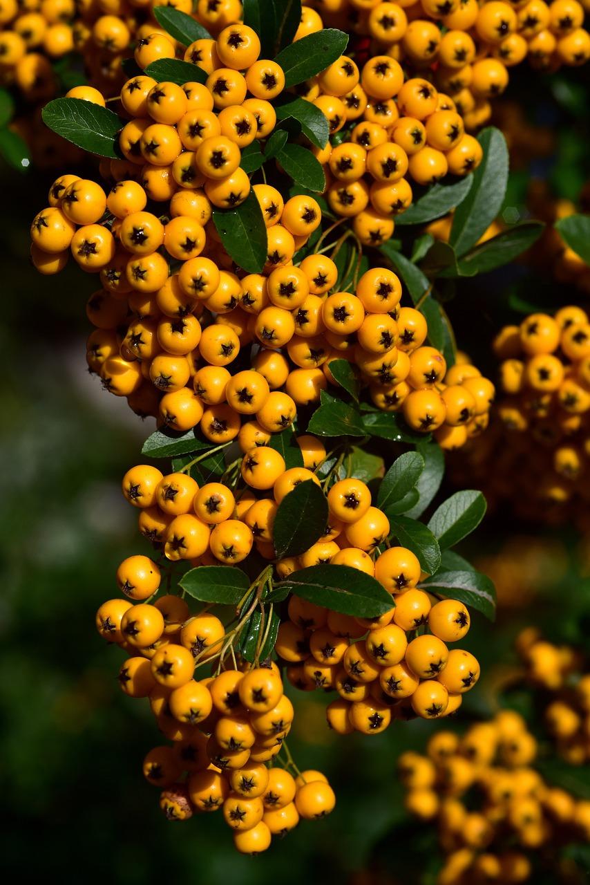 Rowan Orange Berries Free Photo On Pixabay