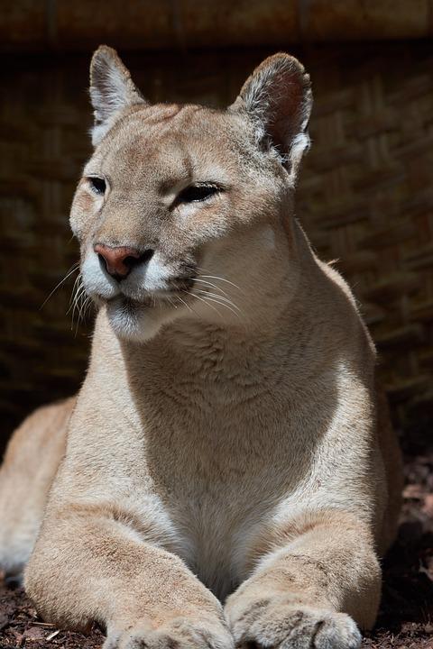 Puma, Predator, Old, Carnivores, Mountain Lion, Cat