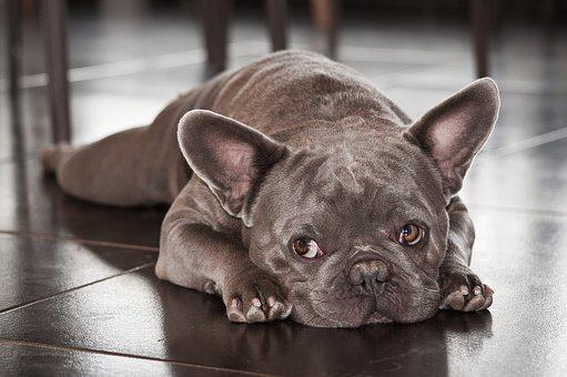 French Bulldog Puppies For Sale in Denton Texas, TX