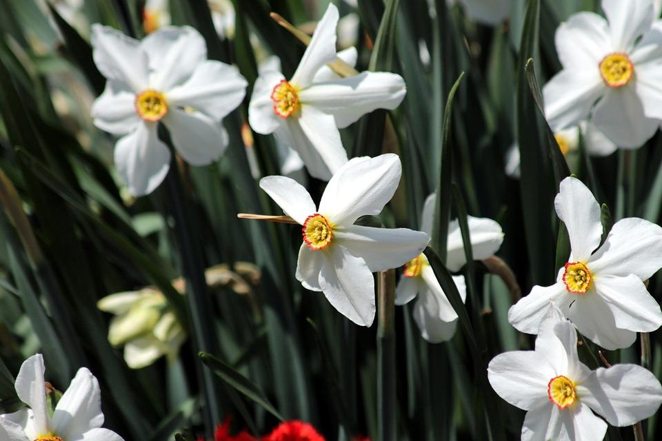 Narcise Plante Natura Fotografie Gratuită Pe Pixabay