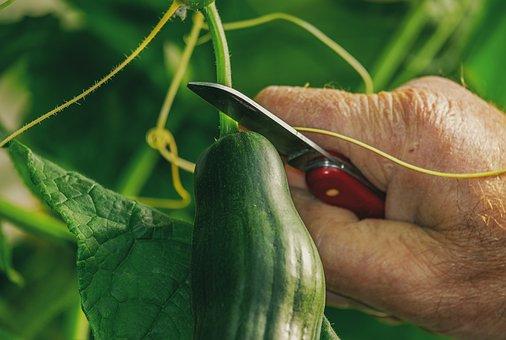 Cucumber, Harvest, Food, Green, Bio