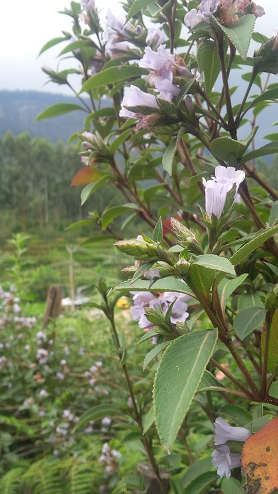 Neelakurinji plant endemic to southern india