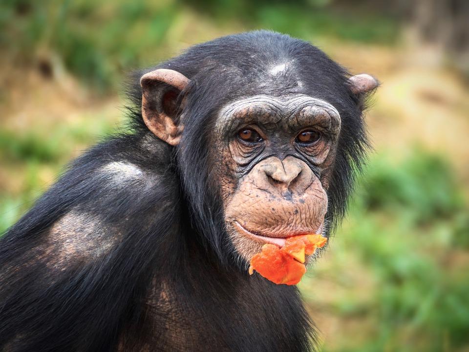 Comment réagit un singe face à un puzzle ?