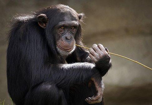 Chimpanzee, Monkey, Ape, Mammal, Zoo
