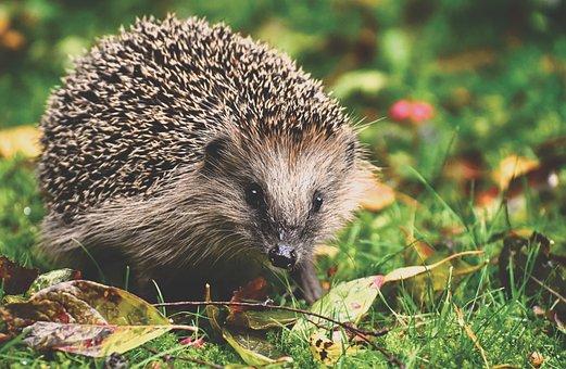 Hedgehog, Animal, Spur, Nature, Mammal