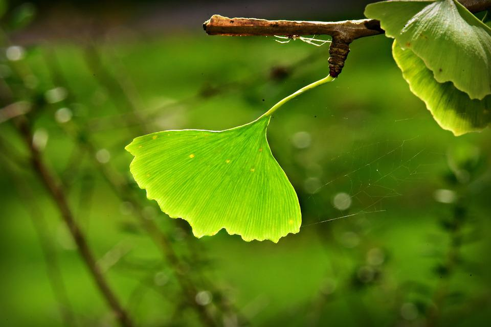 Ginkgo Biloba Leaf Branch - Free photo on Pixabay