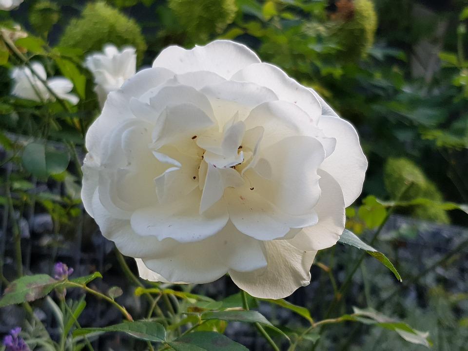 Ont Augmente De Fleur Rose Blanche Photo Gratuite Sur Pixabay