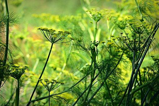 Anis, Fleur, Plantes, Herbe, Médicinales