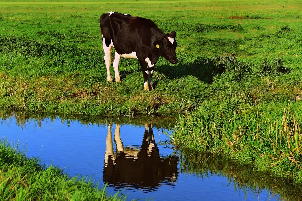 牛, 動物, 哺乳動物, 水, 溝, 反射, 牧草地, 農村, 田舎, 碧水, 緑動物, 緑牛