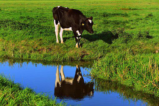 Cow, Cattle, Animal, Mammal, Water