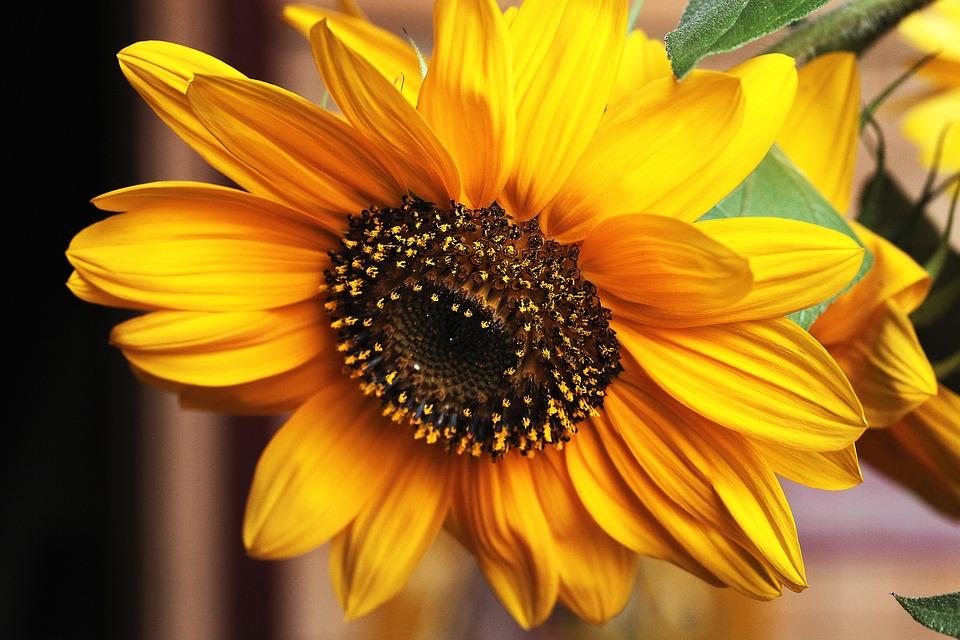 Fiori Gialli Tipo Girasoli.Girasole Fiore Fiori Gialli Foto Gratis Su Pixabay