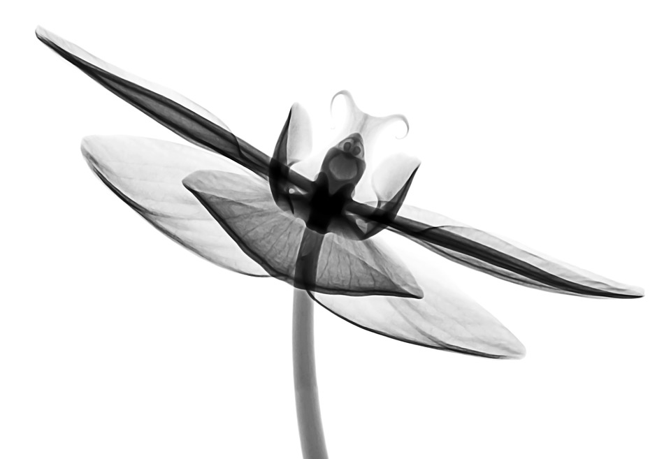 Xray Flower Orchid , Free image on Pixabay