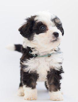 Bernedoodle, Dog, Puppies, Puppy, Doggy