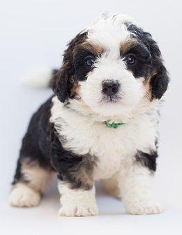 Bernedoodle, Dog, Puppy, Doodle, Poodle