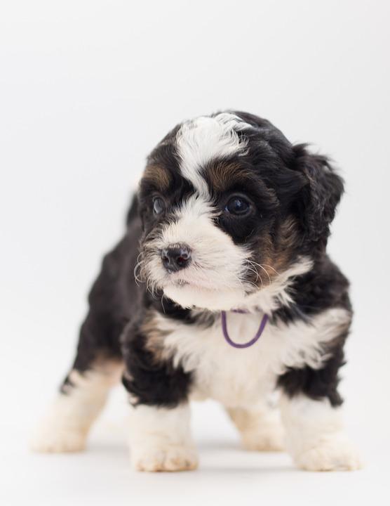 Bernedoodle Dog Puppy Free Photo On Pixabay