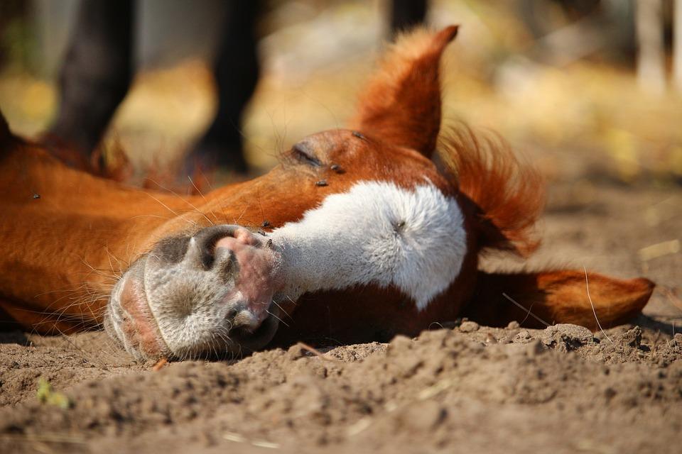 Horse, Fuchs, Foal, Thoroughbred Arabian, Mare