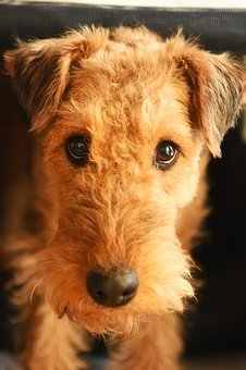 Airedale Terrier Workout Needs