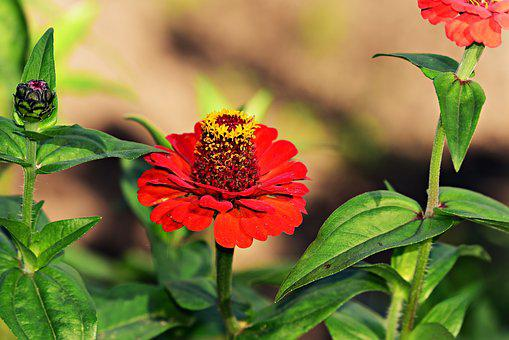 Zinnia Images Pixabay Download Free Pictures