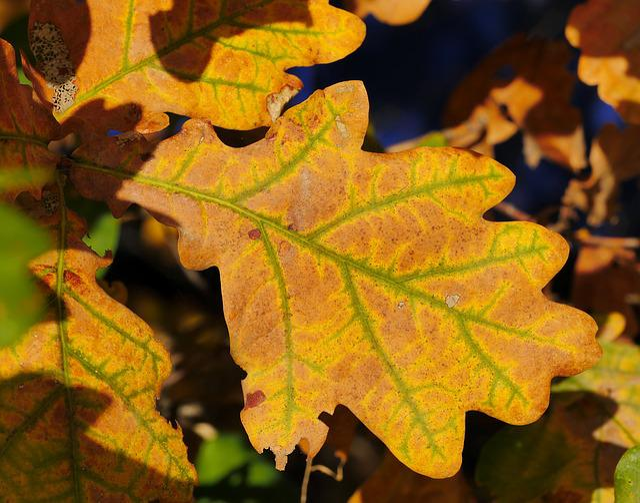 какого цвета листья дуба летом фото понимать, что