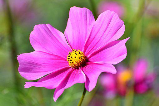 Pink flowers images pixabay download free pictures cosmea flower cosmos blossom bloom mightylinksfo