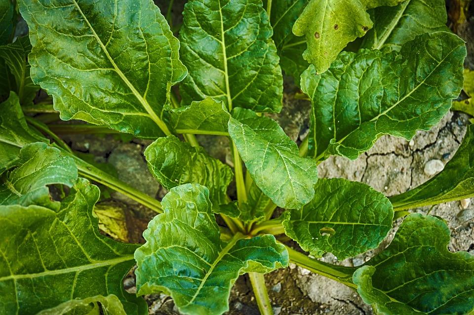 formas de cultivar espinafres