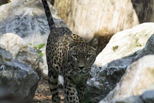 Big Cat, Cheetah, Predator, Zoo