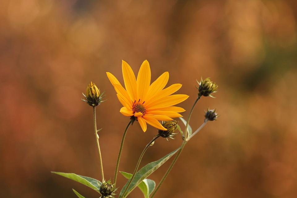 Jerusalem Artichoke Bunga Kuning Foto Gratis Di Pixabay