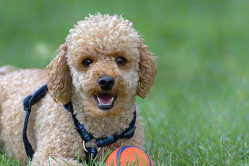 Poodle, Dog, Pet, Cute, Play, Charming