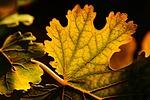 liść, kolory jesieni, żyła