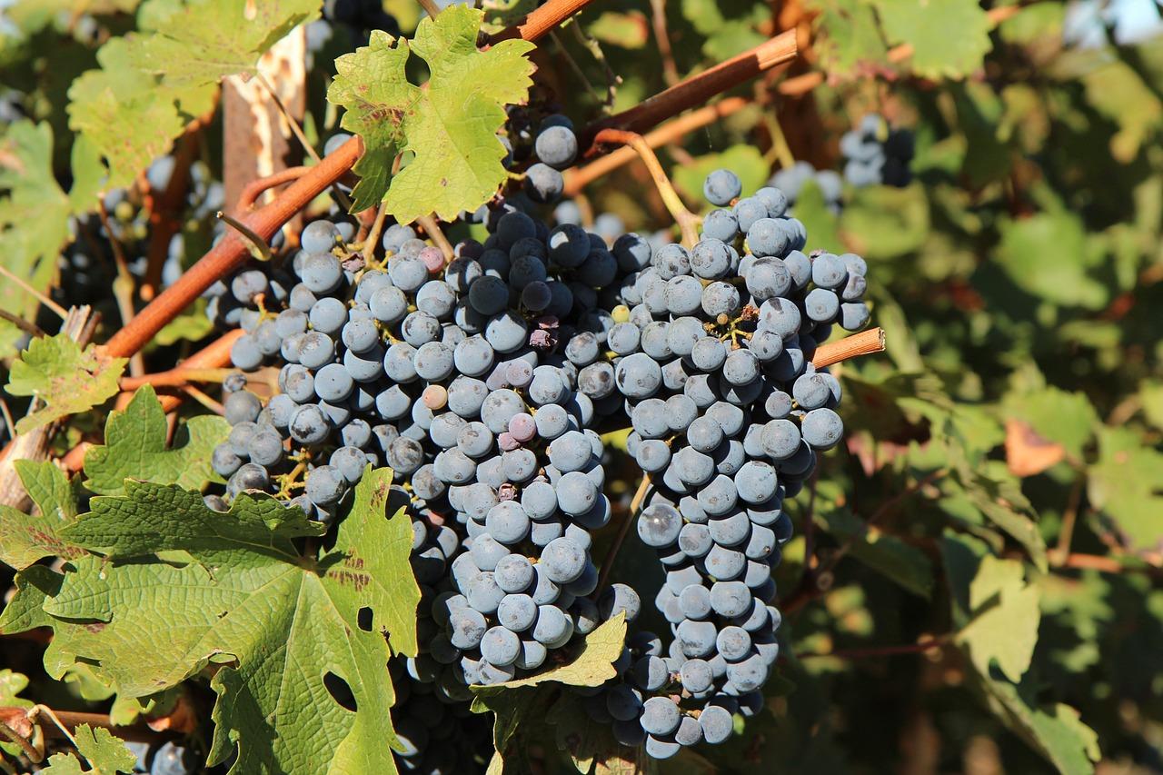 сорт винограда мерло фото старину барон