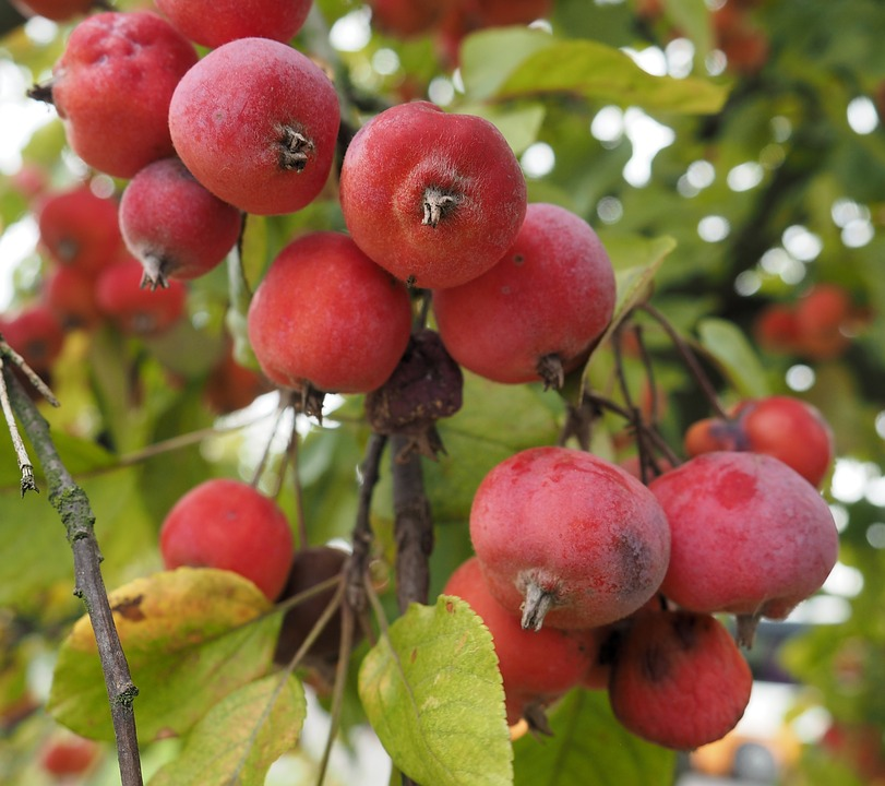 Crab Apple Fruit Images