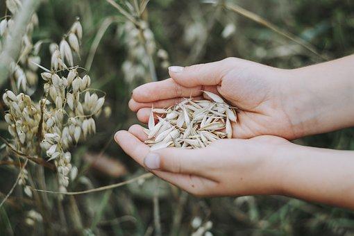 Oats, Cereals, Field, Food, Grain