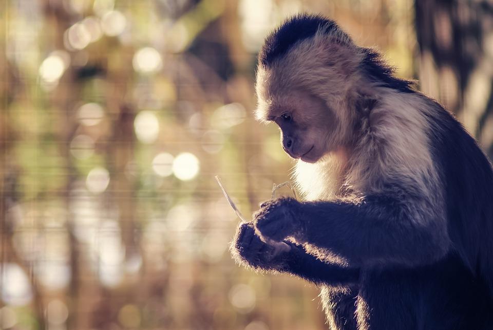 モンキー, 気分, 動物園, じっくり考える, 思う, 思想, 研究, 座る, 静かな, まだ, 自然, 照明
