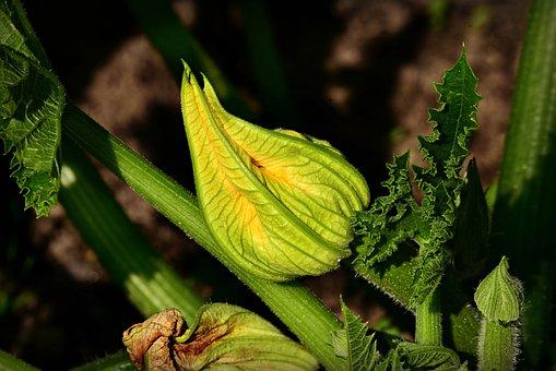 Fleur De Courgette, Courgettes, Légumes