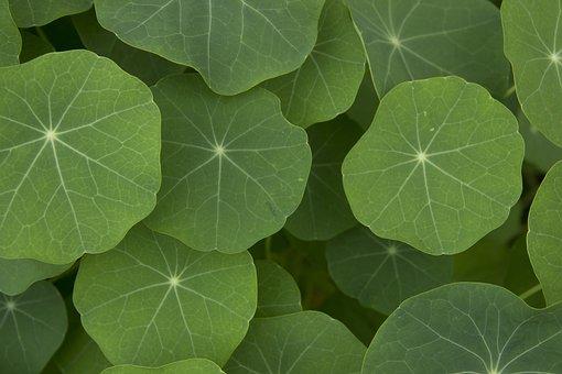 Plant, Nasturtium, Leaves, Garden