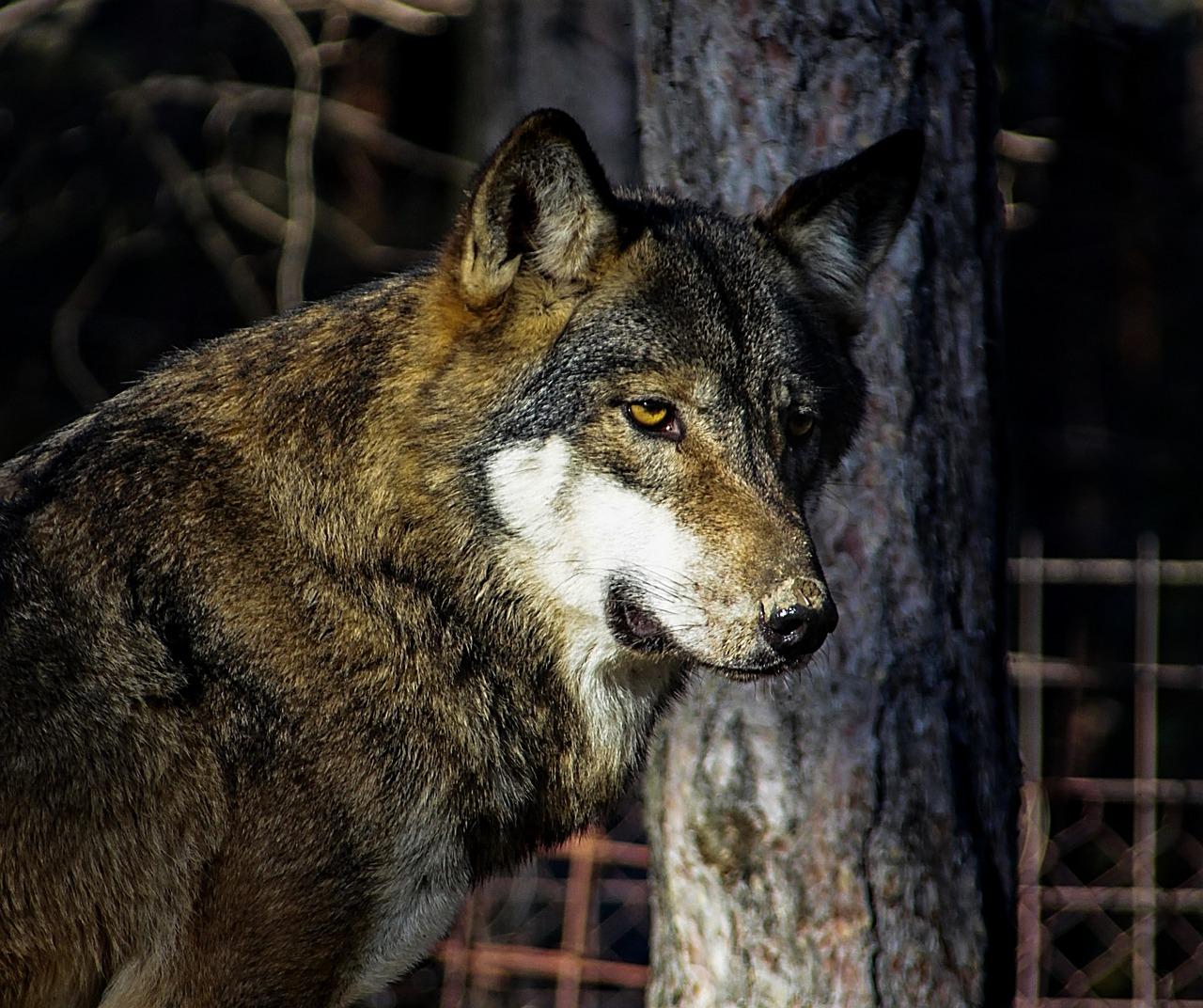 она фото грозного волка персонаж