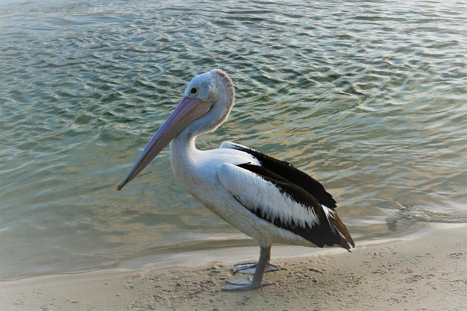 Veľký vtáky pláž