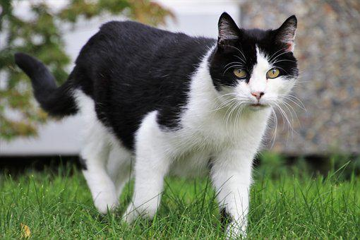 Tomcat, Hunting, Coat, Mustache, Animal