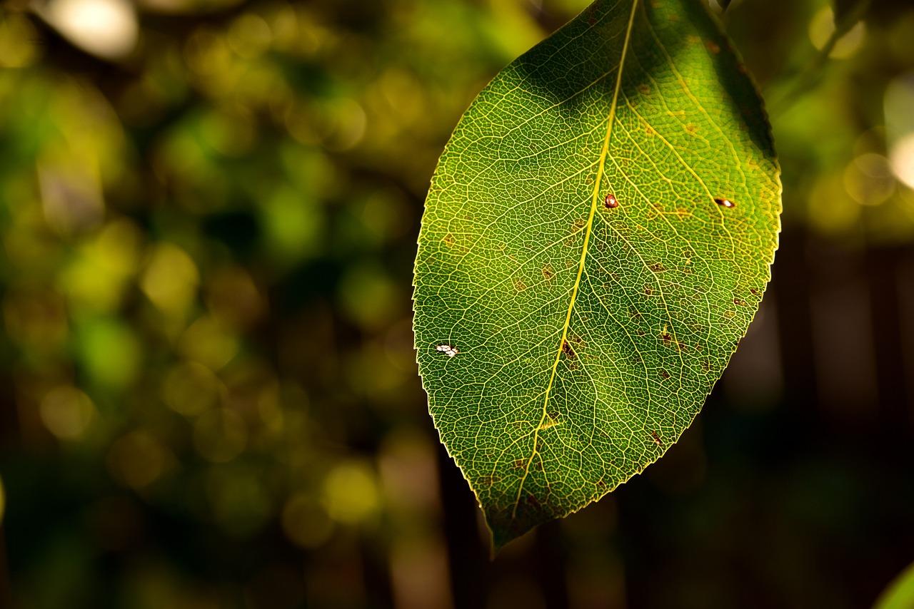 свободу вышел листья груши картинки одного города чтобы
