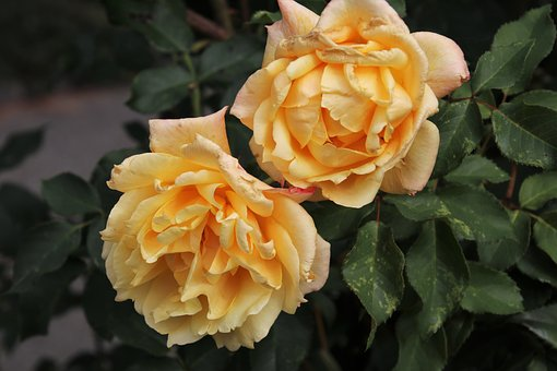 Yellow roses images pixabay download free pictures yellow roses flowers the petals mightylinksfo