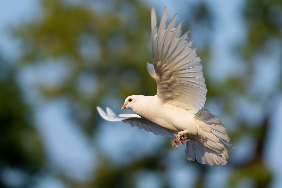 70  Gambar Burung Merpati Terbang Bebas  Terbaik Free