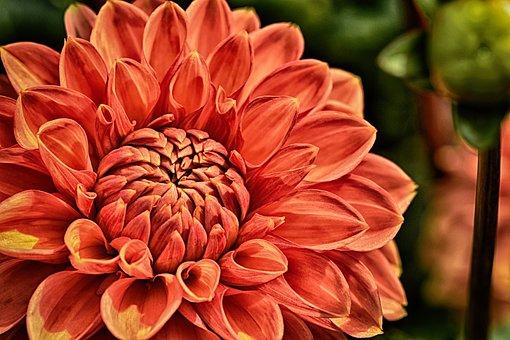 Dahlia, Plant, Flower, Blossom, Bloom