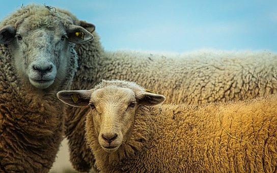 Sheep, Animals, Cute, Nature, Sheep Face