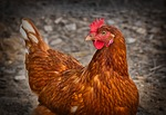kurczak, kura, wolne uruchamianie